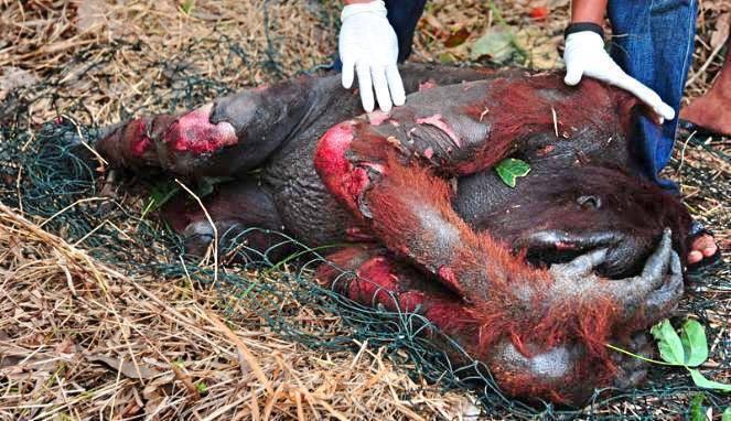 olej palmowy: ranny orangutan